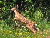 """ Bounding to Safety ""  White-tailed deer fawn"