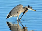 Great Blue Heron with an Itch