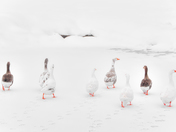 Eight geese a gathering