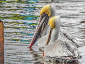 Pelican Watching