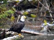 Bald Eagle - Goldstream Provincial Park.
