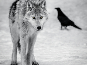 The Raven & the Wolf