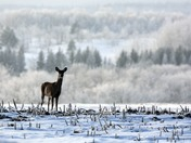 Deer in hoarfrost Sunday