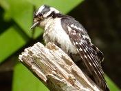 Woodpecker in my yard