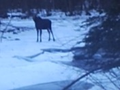 Moose on the river