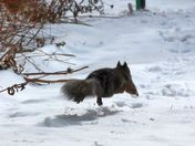 Air-borne winter black squirrel