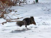 Air-borne winter black squirrel