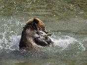 Grizzly vs. Salmon