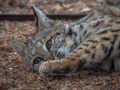 Bobcat Kit