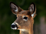 A young fawn is very inertested in me