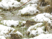 Winter shorebird
