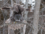 Great Gray Owl morning stretch