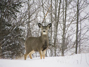 Mule deer in Nordic Center