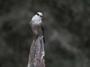 Canada's Bird for the 150th... Canada Jay