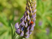 lupin ladybug