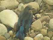 Mountain Bluebird Blue