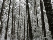 Among Snowy Tall Trees