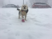 Snow day fun with 2 yr old Chorkie named Cooper from Exeter,NH NH