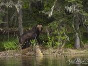 Big Boar Grizzly Bear