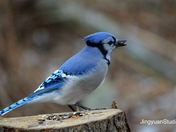 Bluejays eating peanut