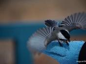 Flying chickadee