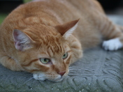 Neighbor's cat Sammy
