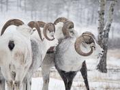 Thinhorn Sheep at the Yukon Wildlife Preserve