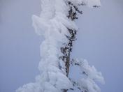 Wind Blown Pine