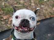 Boston Terrier at Bayou Boogaloo