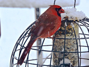 Cardinals during snowstorm 12 Feb 2017