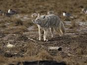Richmond dyke Coyote