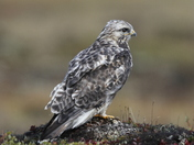 Young rough-legged hawk found on the arctic tundra