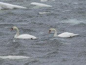 Swans today
