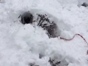 Rescue dog builds snowfort