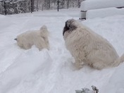 Great Pyrenees watches Lesser Pyrenees play ball in the snow