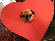 Happy Valentine's Day from Puddin' the Pug