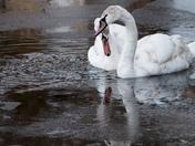 Swans in Dark icy waters