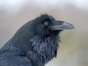 Common Raven!
