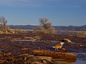 Folsom Lake is filling up: with wood!