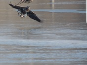 Adult and two juveniles eagles