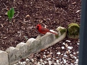 Mr.Charlie Cardinal