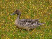 Duck in Flower Field