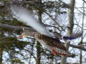 Duck Flap
