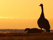 Golden Goose Sunrise