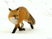 The Fox Trot !