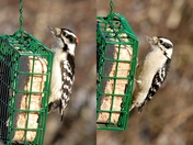 Downy Woodpeckers feeding this morning
