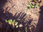 Tulips sprouting in February!