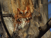 Eastern Screech Owl (red Morphed)