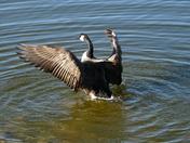 Canada Goose at Lakeside Hills
