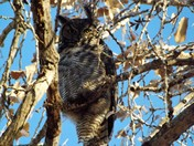 Great horned owl At The Islands , a senior community in Rio Rancho a couple of d